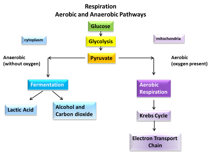 lab aerobic and anaerobic metabolism Lab 6 respiration: aerobic & anaerobic oxidation of organic exp12 metabolism (enzymes mediated reaction of living cells) - anabolism vs catabolism – a free powerpoint ppt presentation (displayed as a flash slide show) on powershowcom.